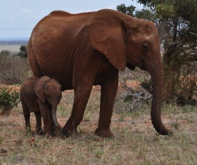 African elephant mother and son Stock Photo