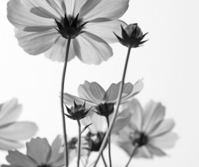 Black and white gesang flowers HD picture