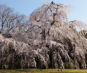 Blooming cherry blossoms HD picture