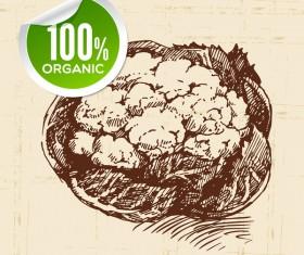 Cauliflower hand drawn sketch vector
