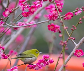 Cherry blossoms and birds HD picture