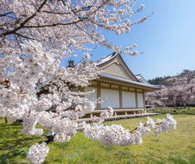Cherry blossoms and houses HD picture 02