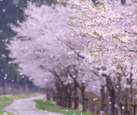 Cherry blossoms flying on the roadside HD picture