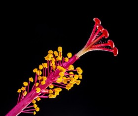 Close-up hibiscus flower buds HD picture 05