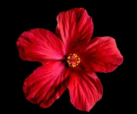 Close-up micro-red hibiscus flower HD picture 03