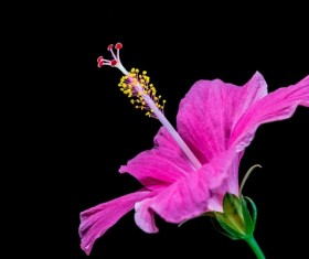 Close-up micro-shot pink hibiscus flower HD picture 04