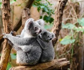 Cute koala HD picture