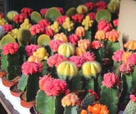 Flowering cactus HD picture 01