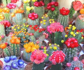 Flowering cactus HD picture 02
