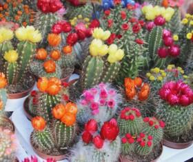Flowering cactus HD picture 03