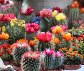 Flowering cactus HD picture 04
