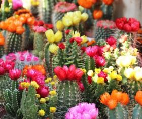 Flowering cactus HD picture 05