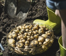 Fresh potatoes unearthed Stock Photo