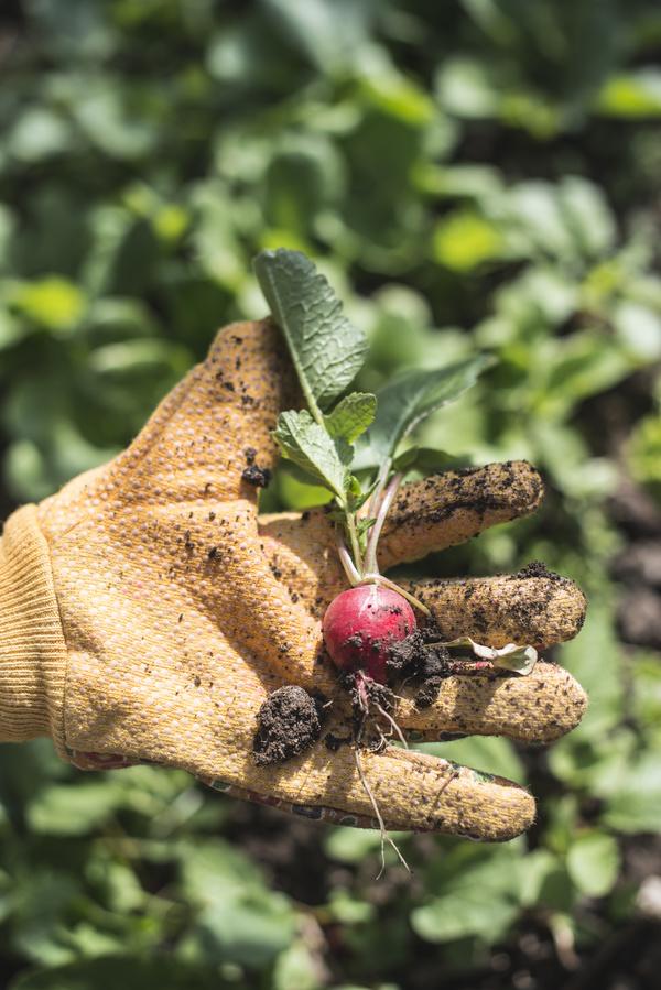 Freshly unearthed little radish Stock Photo