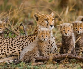 Mother cheetah with a herd of cubs Stock Photo