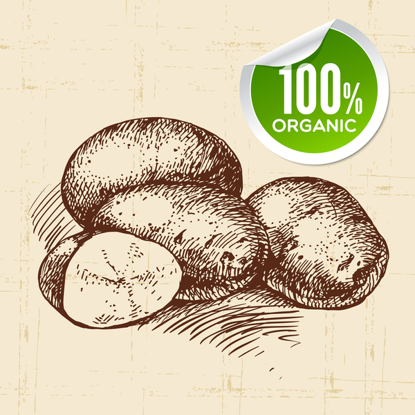 Potato hand drawn sketch vector