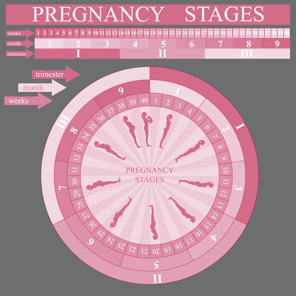 free vector pregnancy progression