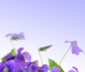Purple butterfly flower HD picture
