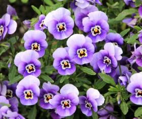 Purple grimace HD picture