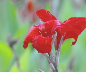 Red Canna HD picture