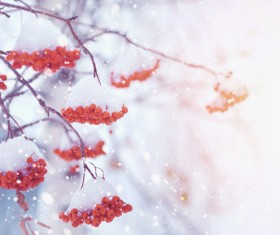 Snow-covered berries Stock Photo
