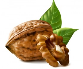 Walnut illustration vector