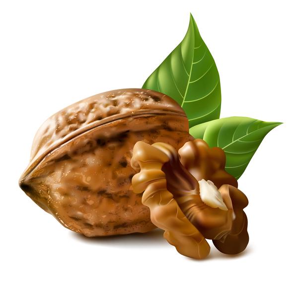 Walnut illustration vector