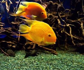 Watch goldfish Stock Photo 01