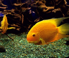 Watch goldfish Stock Photo 02
