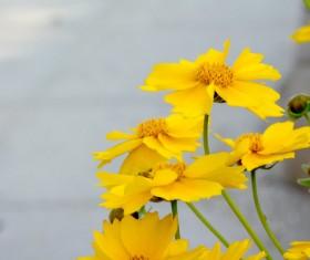 Yellow golden chrysanthemum HD picture