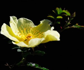 Yellow thorns rose flowers HD picture