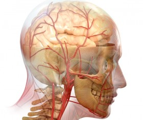 anatomy Stock Photo 39
