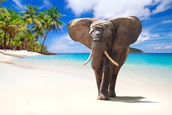 Beach walking elephant Stock Photo