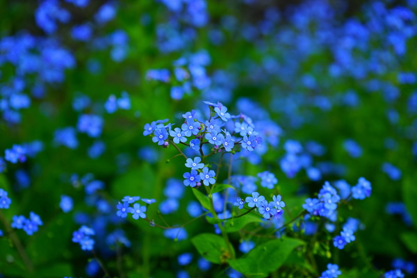 Blue do not forget me to spend Stock Photo
