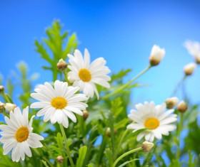 Blue sky background with beautiful white flowers HD picture 01