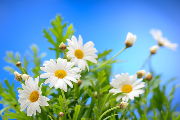 Blue Sky Background With Beautiful White Flowers Hd