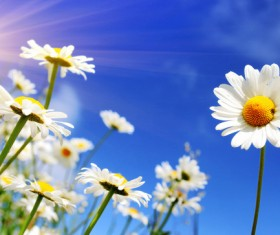Blue sky background with beautiful white flowers HD picture 02