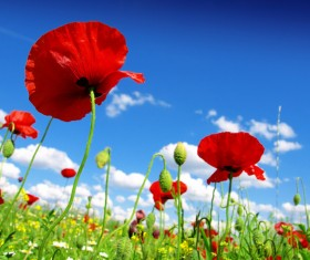 Blue sky background with bright red poppies HD picture 01