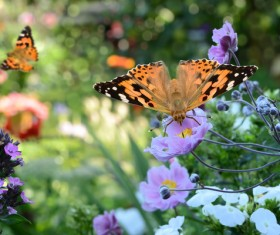 Butterfly on pink flowers HD picture