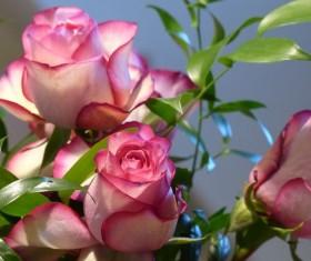 Ecuadorian rose Stock Photo
