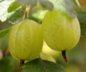 Green Gooseberry Stock Photo 02