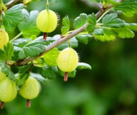 Green Gooseberry Stock Photo 04