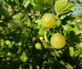 Green Gooseberry Stock Photo 05