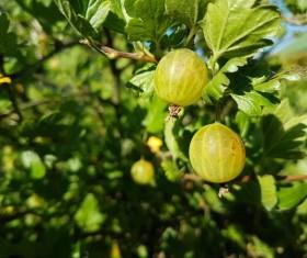 Green Gooseberry Stock Photo 05