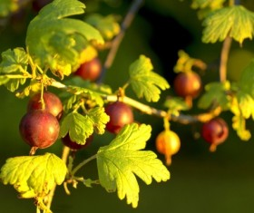 Mature Gooseberry Stock Photo 01