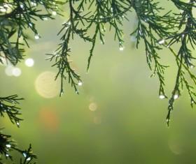 Pine rain drops Stock Photo
