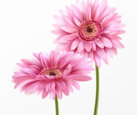 Pink gerbera flower vector illustration