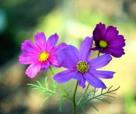 Purple Gesang Flower HD picture