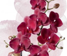 Red orchid HD picture