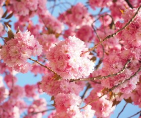 Romantic pink cherry blossoms Stock Photo